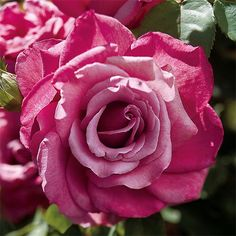 'Heirloom' hybrid tea rose, mauve / Jackson and Perkins Amazing Flowers, Beautiful Roses, Pretty Roses, Fragrant Roses, Rose Care, Heirloom Roses, Types Of Roses, Growing Roses, Hybrid Tea Roses