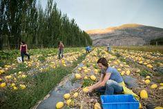 Workers harvesting pumpkin squash crop on farm