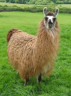 Rubya by Hillview Llamas, Frodsham, UK on Animals Beautiful, Cute Animals, Cute Llama, Llama Alpaca, Llamas, Giraffes, Livestock, Sheep, Cats