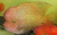 Giant Red Texas Cichlid