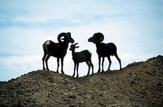 Bighorn sheep in kofa refuge just south of quartzsite.  For gold prospecting and rockhounding supplies, great outdoor gear, plus lots of great  rocks, minerals, fossils, and meteorites, check out RocksInMyHead™ website http://RocksInMyHead.biz For lots of awesome stories about our rockhounding and gold prospecting adventures, plus maps, info, photos and more go to Adventures With Rocks™ at http://JedidiahFree.blogspot.com.