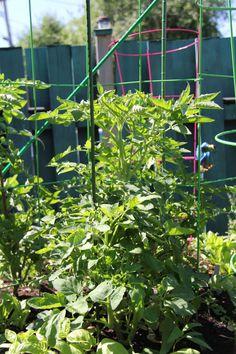 Tomates cœur de boeuf Outdoor Structures, Beefsteak Tomato, Backyard Farming, Tomatoes