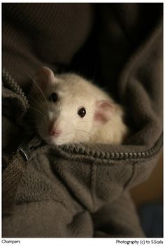 This reminds me so much of my rat, Silver.  I miss her terribly.  Had to put her down after her stroke as she couldn't eat.