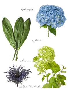 Blue wedding flowers like thistle for a modern bride, and hydrangea for the classic bride // Flower Muse