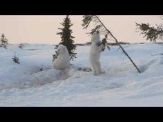 VIDEO- video of two polar bear cubs playing in the snow. This is adorable!