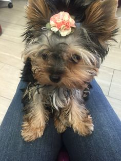 ❤️ Teacup Yorkie, Ruby Rose, Yorkies, Animals Beautiful, Puppies, Dogs, Cute, Cutest Animals, Cubs