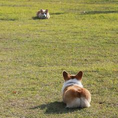 Corgi Duel - facepalm...I have been staring waiting for something to happen. I thought it was a GIF