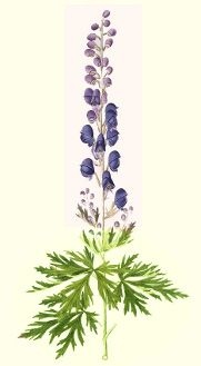 Monkshood seeds, where to buy and how to grow them.  http://www.alchemy-works.com/aconitum_napellus.html