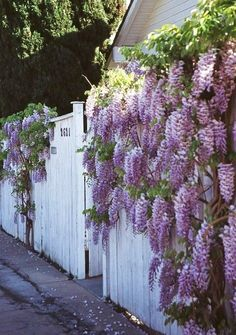 A fence with Wisteria displayed. What a gorgeous plant. Can't wait to have my own!!