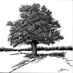 Burr Oak Tree in McBaine, MO.  Original scratchboard based on a photo by Charles Smith.