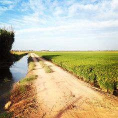 Campo de arroz. La Albufera. Valencia. Spain. Love You Dad, Plantar, The Good Place, Country Roads, Nice, Places, Fields, Valencia Spain, Natural Playgrounds