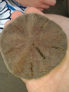 Living sand dollar. What you find in shops is actually the remaining skelton of the creature. When alive they are covered in skin with thousands cilia.