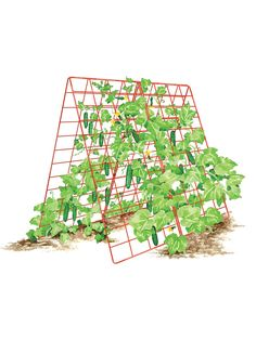 Growing Tomatoes Deluxe Cucumber Trellis - Make the most of climbing plants by providing the right kind of support. Pea Trellis, Clematis Trellis, Tomato Trellis, Cucumber Trellis, Tomato Garden, Garden Trellis, Garden Shrubs, Balcony Garden, Herb Garden