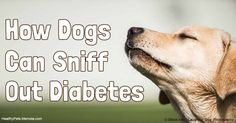 Diabetes service dogs are trained to recognize symptoms of low blood sugar and alert their owners to take action. http://healthypets.mercola.com/sites/healthypets/archive/2016/08/31/diabetes-service-dogs.aspx