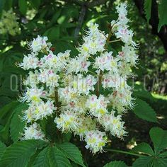 image de Aesculus hippocastanum Quebec, Herbs, Photos, Index Cards, Plants, Lawn And Garden, Pictures, Quebec City, Herb