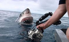 That moment a great white shark meets the camera man...
