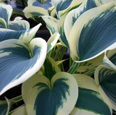 Hosta Blue Ivory. I love Hosta plants! I have NEVER seen a blue one. Gotta hunt this down!