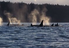 Orcas Island Washington: mid-May is great for whale watching