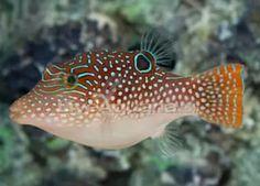 Blue spotted puffer Saltwater Aquarium Fish, Saltwater Tank, Architecture Quotes, Funny Tattoos, Celebrity Travel, Ocean Creatures, Exotic Fish, Travel Design, Exotic Pets
