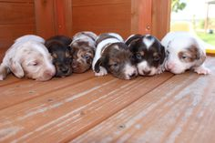 Mini Dachshund Puppies for sale in Texas - Muddy River Dachshunds Dachshund Breeders, Dachshund Puppies For Sale, Mini Dachshund, Dashund, The Ranch, Dogs, Cute, Animals, Animales