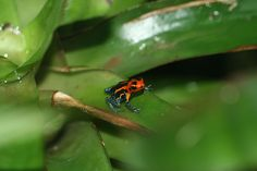 Mimic Poison Frog. The mimic poison frog has a notable reputation for not only being a great father, but also being a great husband. As a matter of fact, it is the only amphibian to be certifiably monogamous. The female frog lays her eggs on leaves and those that hatch are then moved by the father into a tiny pool of water inside a bromeliad.