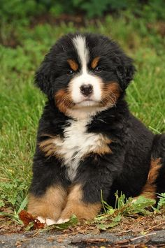 Most up-to-date No Cost bernese mountain dogs guys Thoughts : This Bernese Huge batch Canine is really a well-known huge canine breed. This has become the a number of varieties that will come from the Sennenhund-. Bernese Mountain, Mountain Dogs, Beautiful Dogs, Animals Beautiful, Cutest Puppy Ever, Photo Chat, Cute Dogs And Puppies, Doggies, Cute Baby Animals
