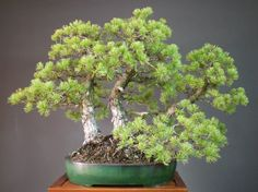 Clump style Japanese White Pine - Michael Bonsai