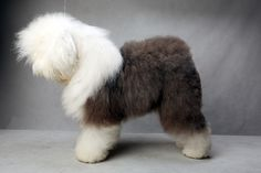 Swagger the Old English Sheepdog (Herding). Swagger, registered as Bugaboos Picture Perfect, is owned by Colton and Heather Johnson. (Fred R. Conrad, a New York Times photographer, set up a studio at the 2013 Westminster Kennel Club dog show and invited Best of Breed winners to pose.)