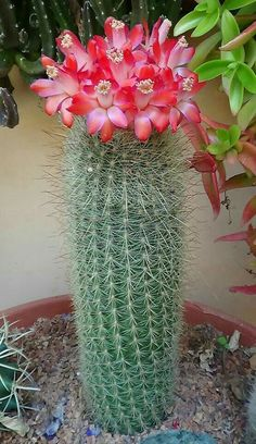 You searched for cactus - PlantsBank Exotic Plants, Exotic Flowers, Amazing Flowers, Cacti And Succulents, Planting Succulents, Planting Flowers, Flowers Garden, Cactus Plante, Desert Plants