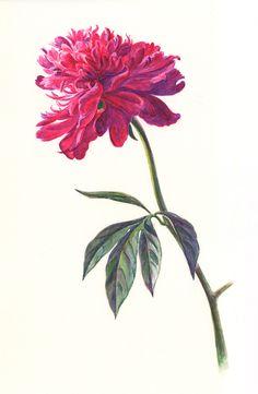 ботаническая иллюстрация - Поиск в Google