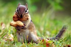 Squirrel Eating The Nut