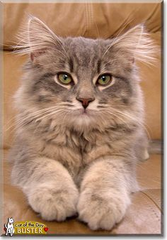 Read Buster the Maine Coon's story from Westminster, Maryland and see his photos at Cat of the Day http://CatoftheDay.com/archive/2011/October/18.html .