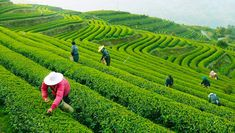 Longjing Tea or Dragon Well Tea Plantations in Hangzhou present charming view and wonderful programs to understand tea culture in China. See the introdunction, maps, tips. In China, Hangzhou, Dragon Well Tea, Longjing Tea, Farm Images, Peking, Destinations, China Travel, Travel