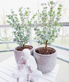 Eucalyptus growing indoors # growing # at home - Diy Garden Projects Diy Garden, Garden Plants, Indoor Plants, Garden Landscaping, Home And Garden, Indoor Trees, Vegetable Garden, Indoor Flowers, Potted Trees