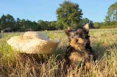 Florida Pups is a private breeder that places puppies to homes thoughout the state of Florida. Our teacup Yorkie puppies are available near Sarasota, Tampa, Orlando, Fort Myers, Fort Lauderdale, Miami and Naples FL.