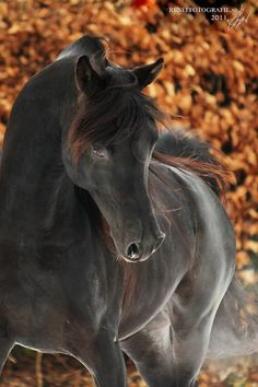 Black majestic Friessian horse                                                                                                                                                                                 Plus
