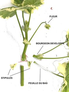 Les multiplications: végétative : bouturage - Hortidact