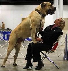 Description of Massive English Mastiff- had one of these and also a bull mastiff Giant Dog Breeds, Giant Dogs, Large Dog Breeds, Bullmastiff, Huge Dogs, I Love Dogs, Cane Corso, Lap Dogs, Dogs And Puppies