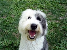 "I grew up with an Old English Sheep Dog, ""Rose"" Best family dog ever"