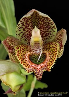 Catasetum 'Brazilian Mystery'(macrocarpum x schmidtianum) - Flickr - Photo Sharing!