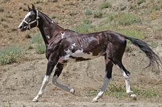 Beautiful Akhal-Teke from Northern Iran. Love the colour.
