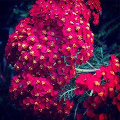 "Achillea millefolium ""Pomegranate""  Small yet striking mass of flowers in one of my favorite colors. I always prefer the darker ""jewel tone"" colors in plants interior design and more.  #achillea #flowers #plants #nature #garden #outdoors #ig_garden #flowersofinstagram #flowerstagram #treestagram #rainbow_petals #ig_naturelovers #ig_naturepictures #ig_naturesbest @24earth"