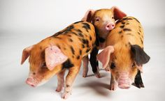 once upon a time...3 little pigs..