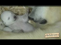 Baby polar bear opens its eyes for the first time while trying to sleep. VIDEO - visit website to watch