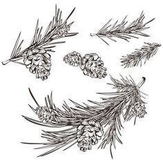 scots pine drawing - Google Search