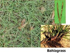 Bahia grass is tropical perennial grass that is native to South America but it is also now found in various parts of North America. It is said that Bahia grass was imported in United States from various parts of South America in the early 1900's as turf grass or forage. However, now it is considered…