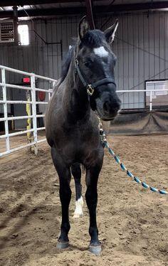 SB HOLLYWOODS BELLA, 2019 AQHA Grullo Mare.. Reining Horses, Dressage, Appaloosa, Palomino, Bones And Muscles, Equine Photography, Show Horses, Beautiful Horses, Ponies
