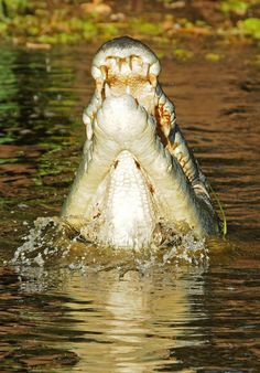 Salt water crocodile - Kakadu National Park, Northern Territory - enlarge the pic and look at the teeth / the 'salties' are the dangerous beasts!
