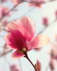 Spring Forward - 8x10 Flower Photo - Magnolia - Bloom - Blossom - Spring