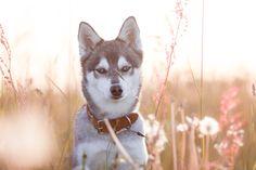 Hundehalsbänder für gross & kleine Fellnasen, exklusiv bei MIKKIS.   Handgemacht & aussergewöhnliche Halsbänder- & Leinensets.  #dog #instadog #hundeliebe #dogstagram #doglover #dogphotography #puppy #hundefotografie #dogs #hundträning #dog #instadog #hundeliebe #dogstagram #doglover #dogphotography #puppy #hundefotografie #dogs #hundträning Tier Wallpaper, Animal Wallpaper, Colorful Wallpaper, Evening Sunset, Handmade Dog Collars, Desktop Pictures, Dog Gifts, Your Dog, Cute Animals